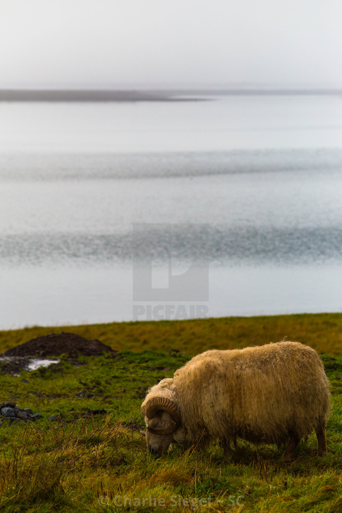 """Icelandic Horned Sheep by the Sea"" stock image"