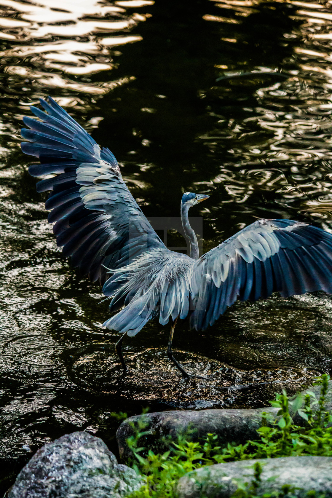 """Great Blue Heron Opening its Wings"" stock image"