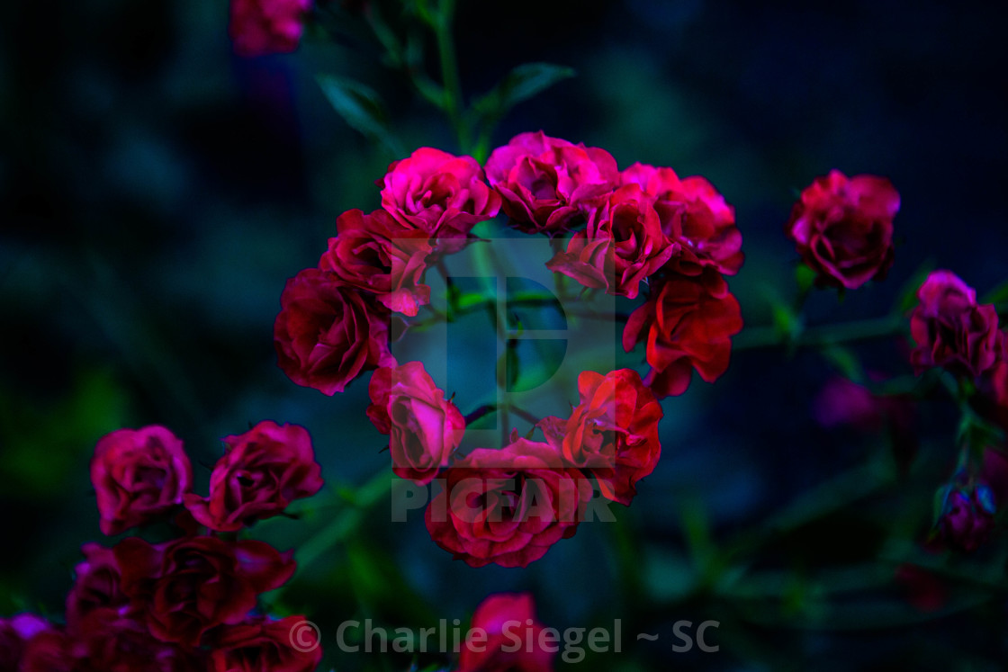 """Circle of Roses"" stock image"