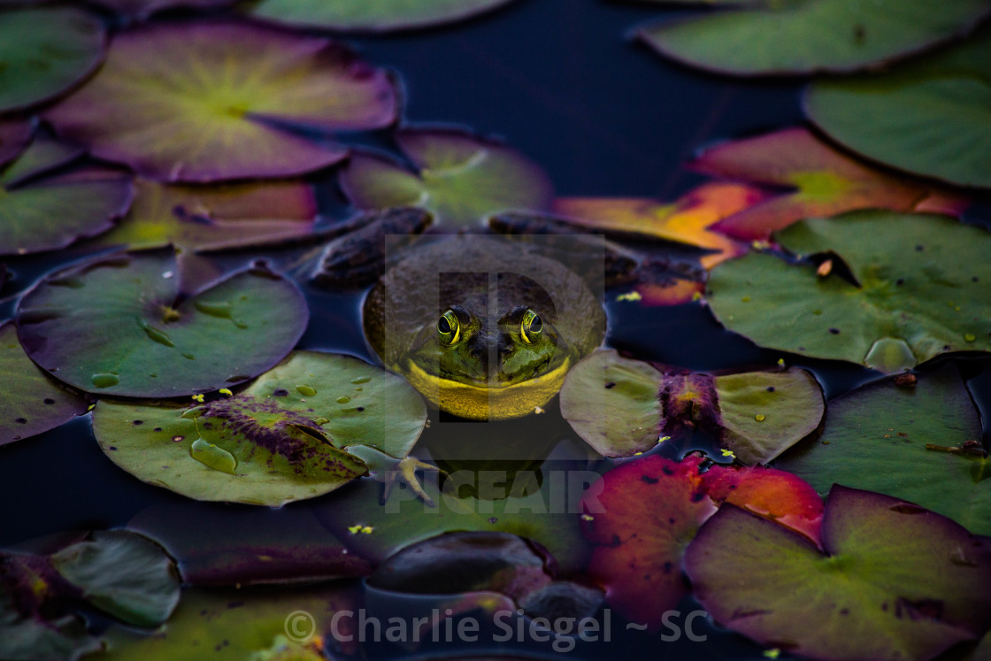 """Huge Frog on Lily Pads"" stock image"