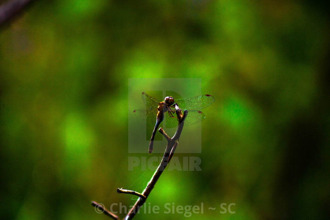 """Dragonfly Perched on a Rose Bush Branch"" stock image"