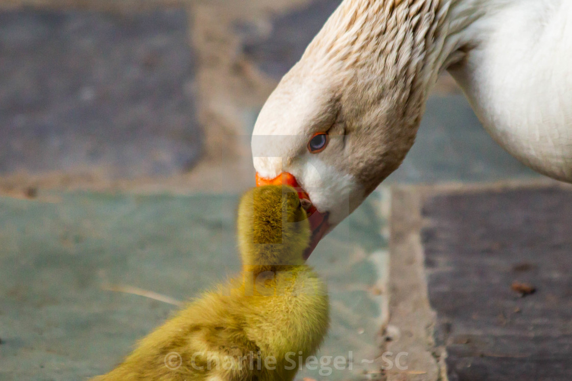 """Mother and Gosling Snow Goose"" stock image"