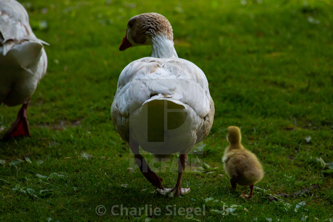 """Adult Snow Goose Leadings its Gosling"" stock image"
