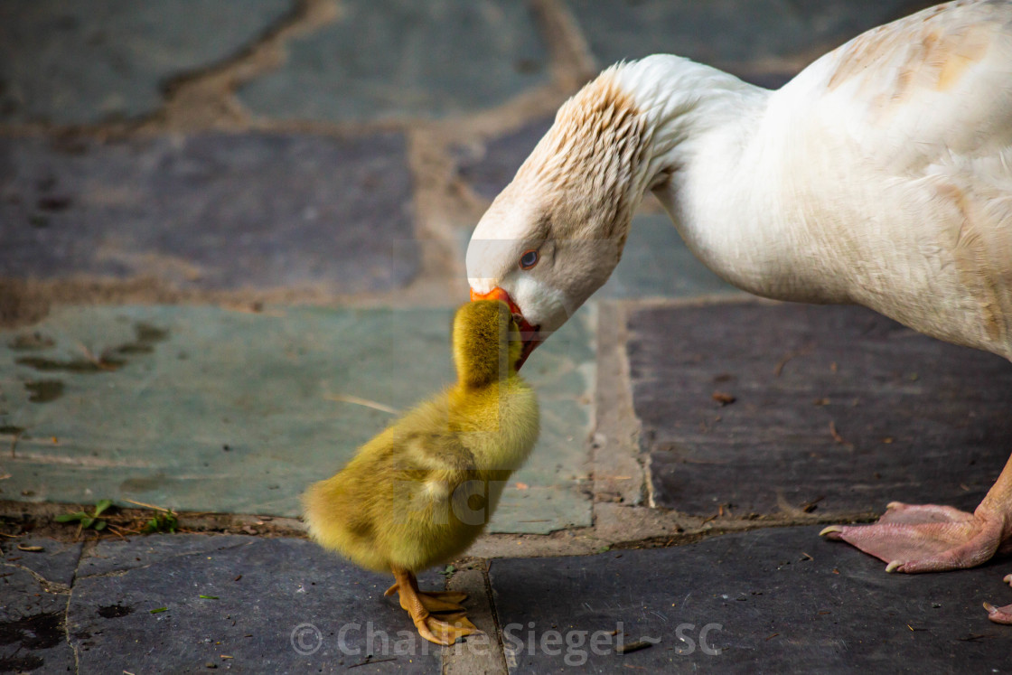 """Mother Snow Goose Gazing at Her Offspring"" stock image"