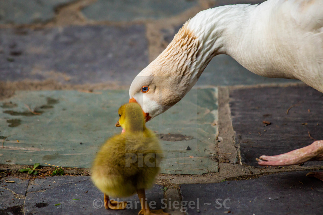 """Mother Snow Goose and Gosling"" stock image"