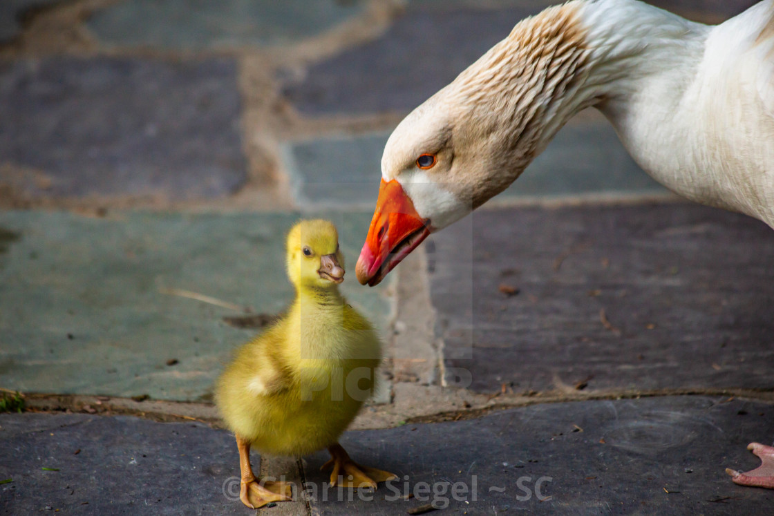 """Snow Goose Cuteness"" stock image"
