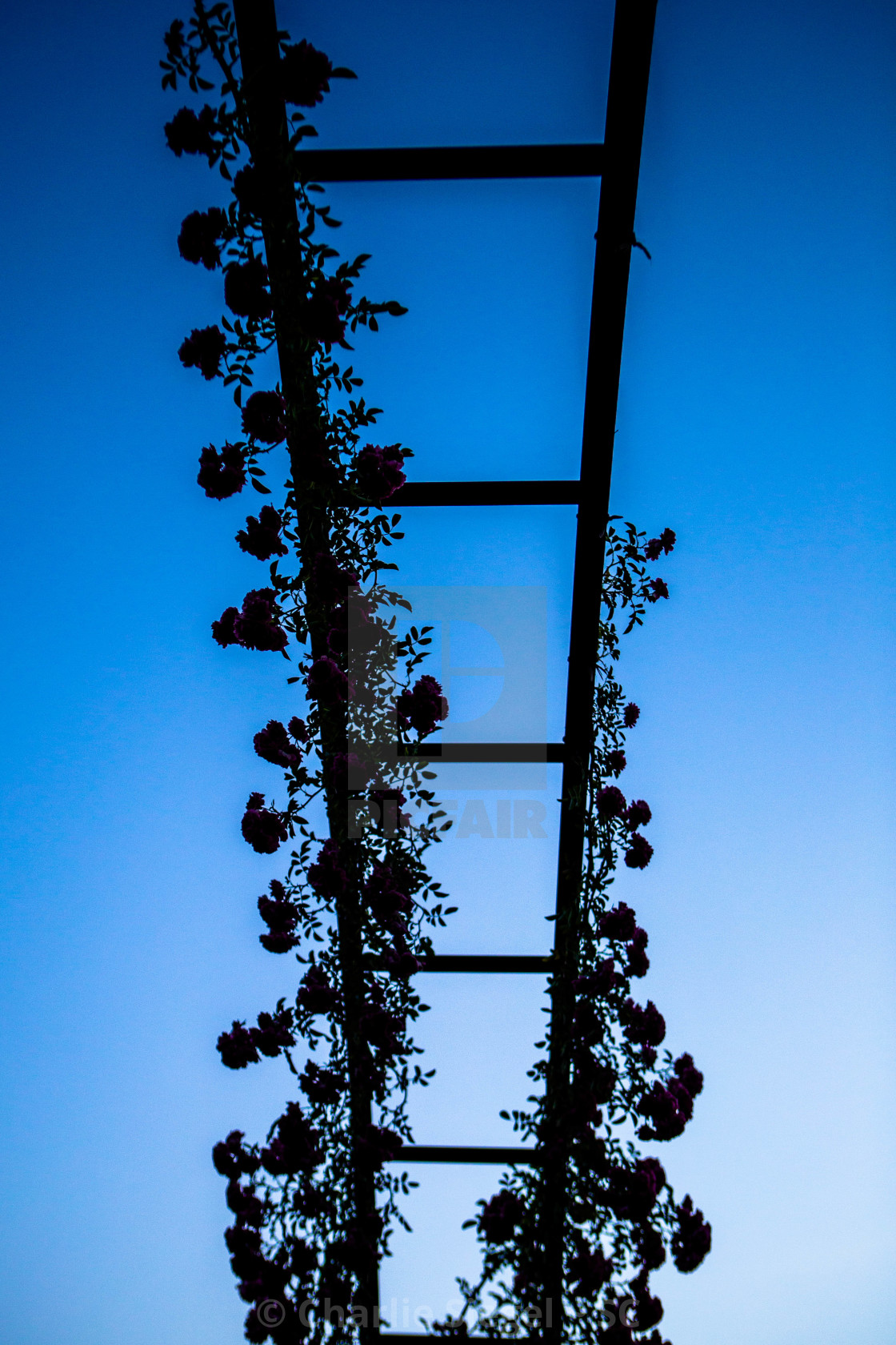 """Silhouette of Roses Climbing a Trellis in Elizabeth Park"" stock image"