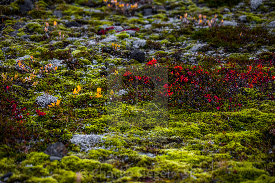"""Icelandic Moss and Shrubs in Autumn"" stock image"