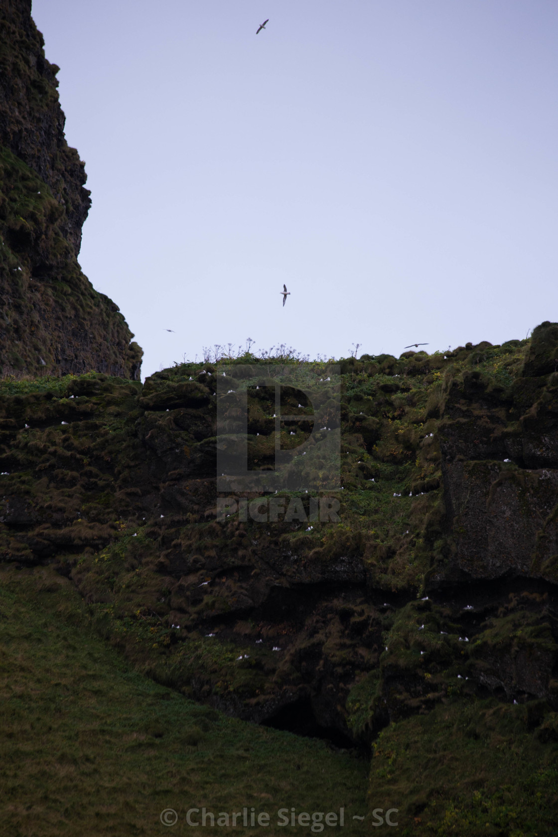 """Northern Fulmar Birds Nesting in a Hillside in Iceland"" stock image"