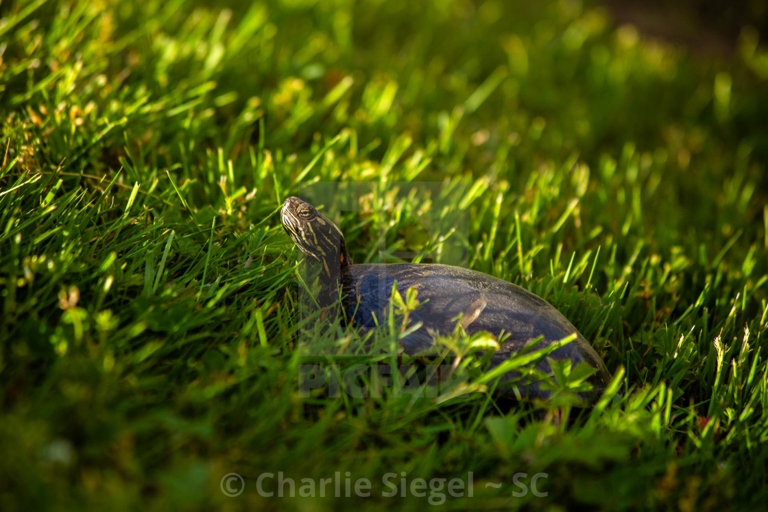 """Painted Turtle Basking in the Sunlight on a Hill"" stock image"