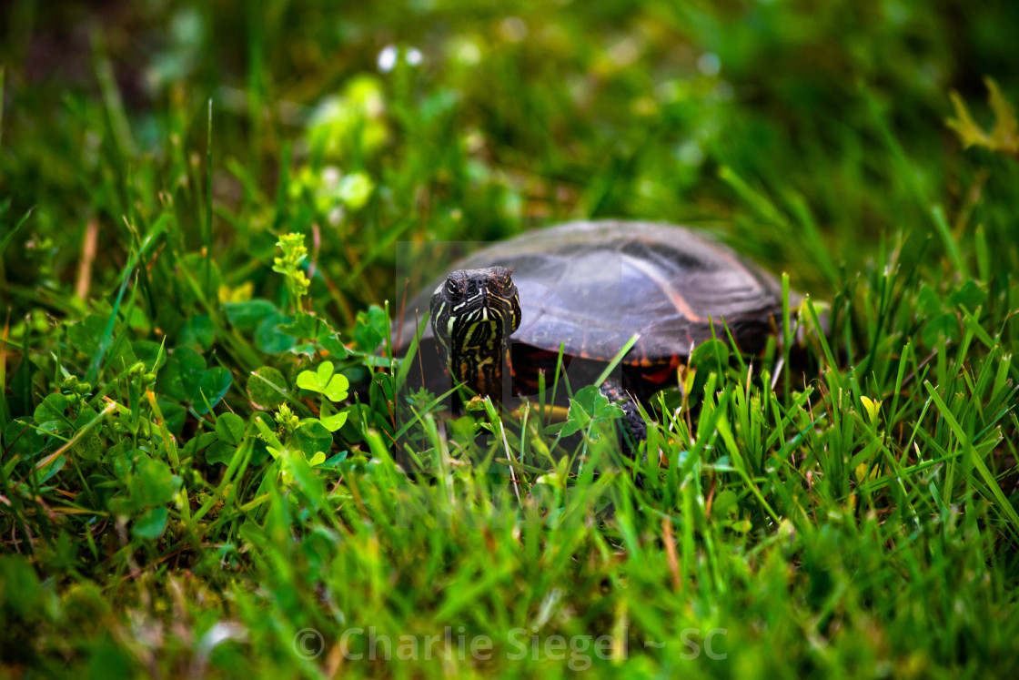"""Painted Turtle among Grass and Wildflowers"" stock image"