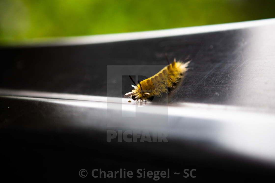 """Yellow caterpillar of a banded tussock moth aka pale tiger moth inspecting a small object"" stock image"
