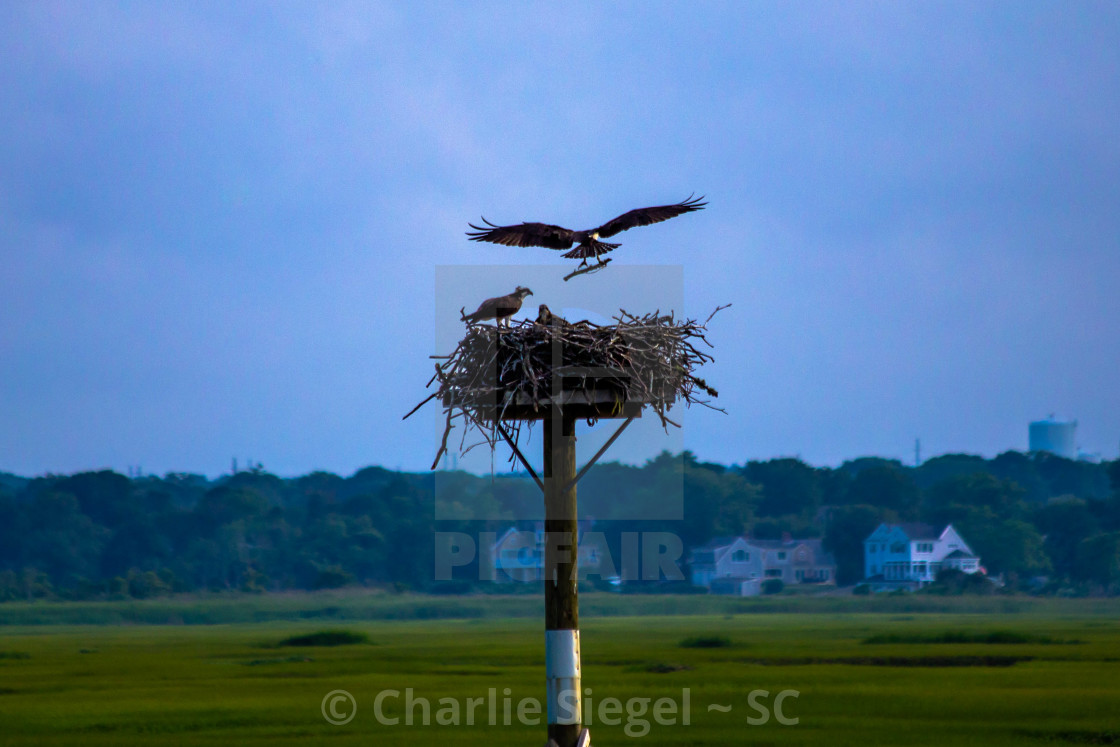 """Osprey returning to the nest with a branch"" stock image"