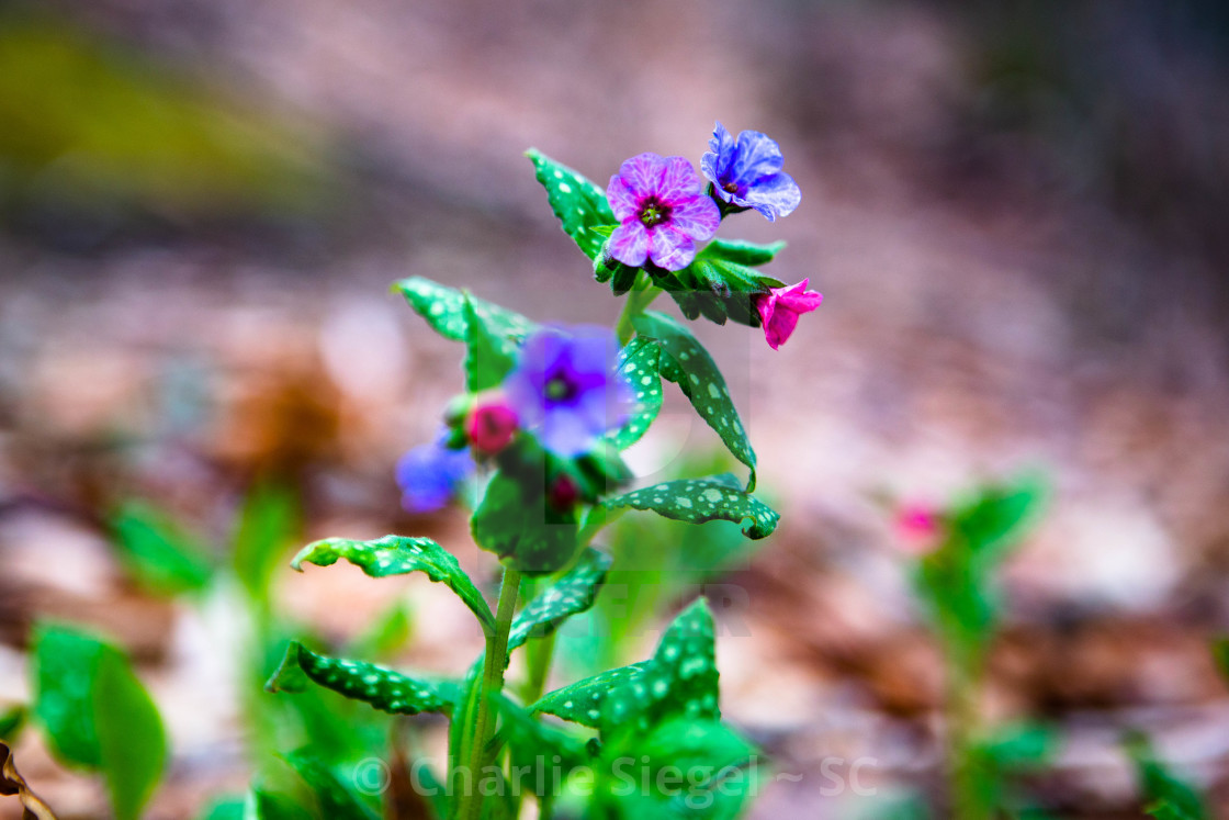"""Small Pink Purple and Blue Wildflowers"" stock image"