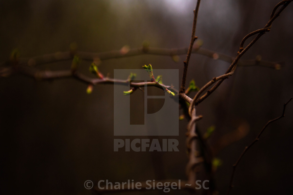 """Springtime Buds on a Branch Entwined by Grapevines"" stock image"