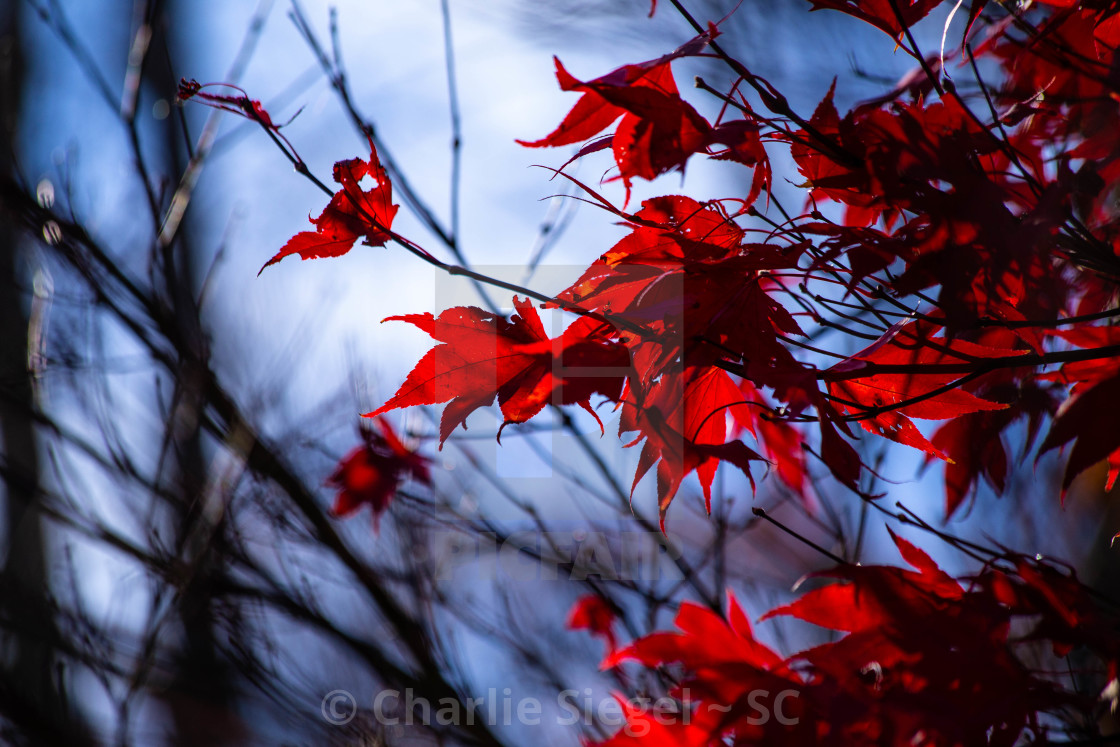 """Japanese Maple Tree Branches in Autumn"" stock image"