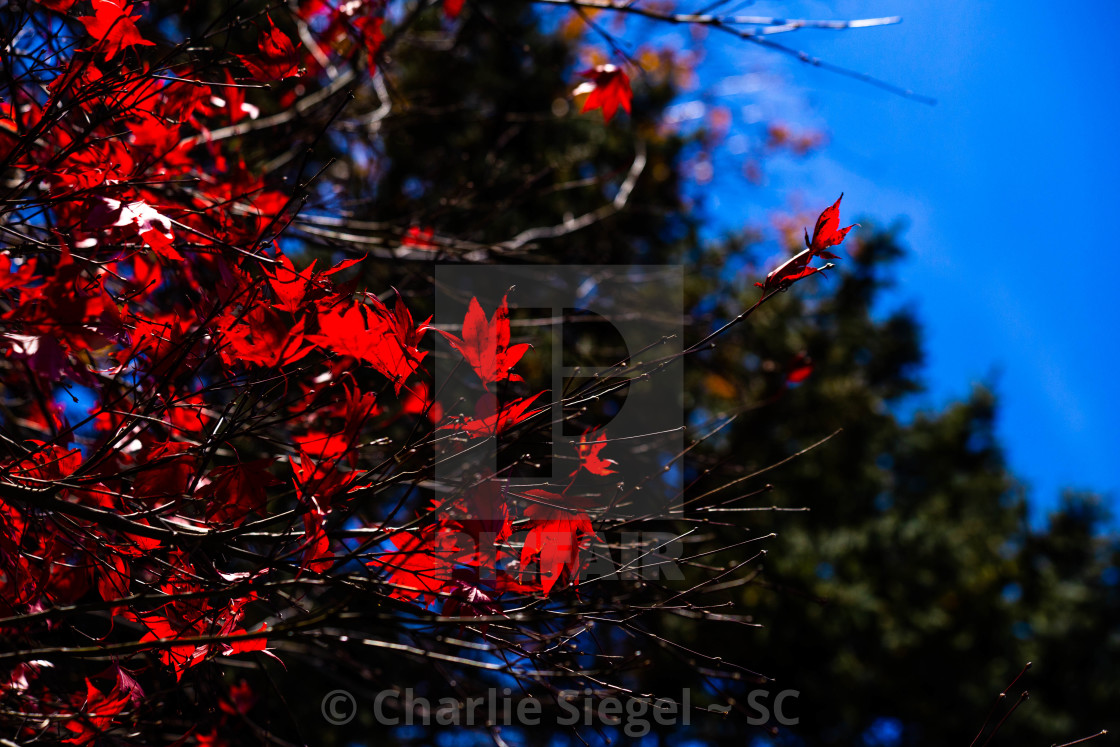 """Autumnal Foliage on the Branches of a Japanese Maple Tree"" stock image"