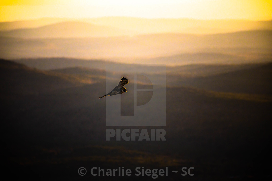 """Red Tailed Hawk in Flight at Sunset"" stock image"