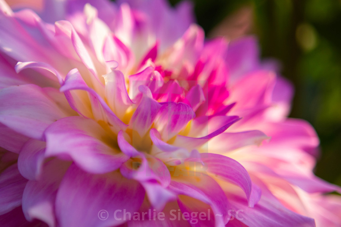 """Pink and White Dahlia Macro Photograph"" stock image"