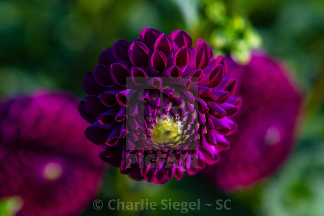 """Purple Dahlia Blooming"" stock image"
