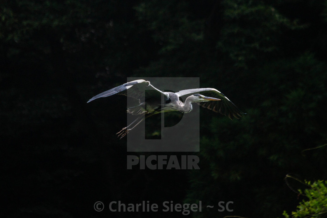 """Gray Heron flying over Meiji Jingu Japan"" stock image"