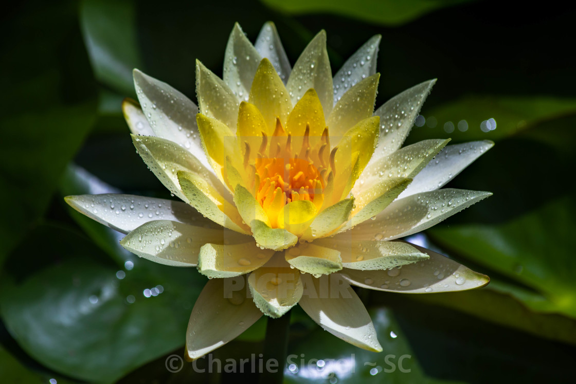 """Golden Lotus Flower"" stock image"