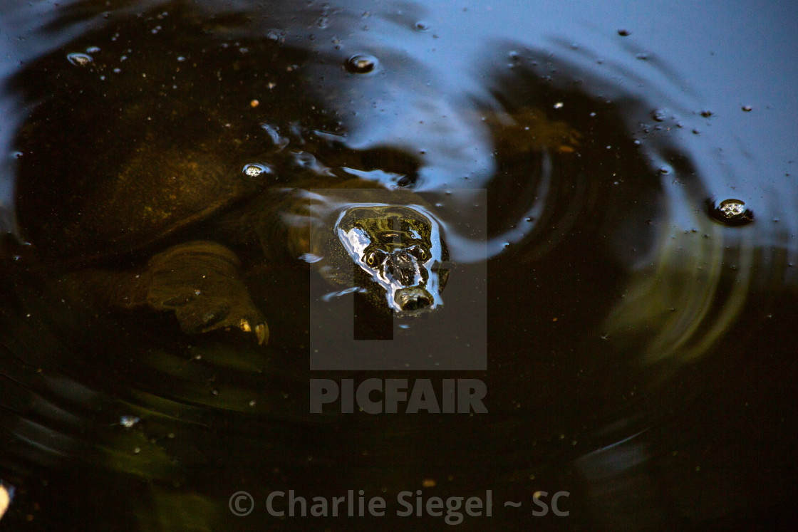 """Northern Chinese Softshell Turtle in Japan close up"" stock image"