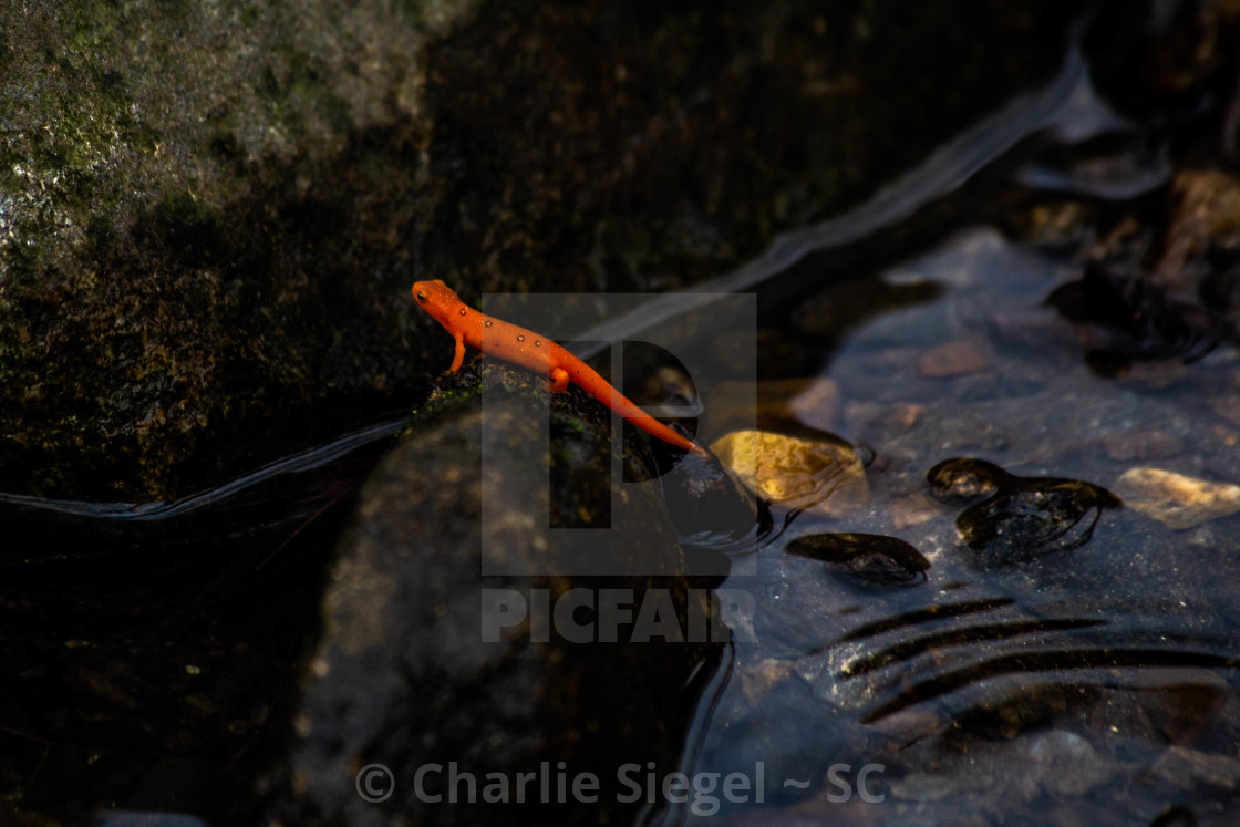 """Orange Newt on a River Stone"" stock image"