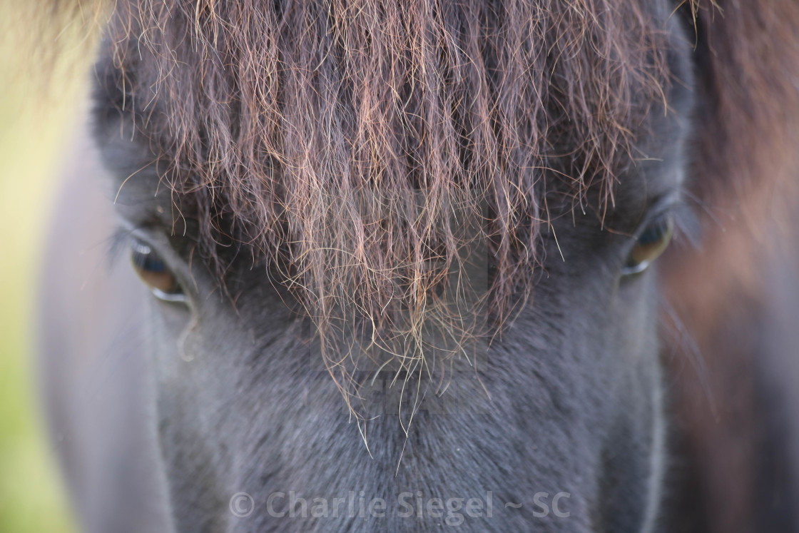 """Icelandic Horse Gazing Up-Close"" stock image"