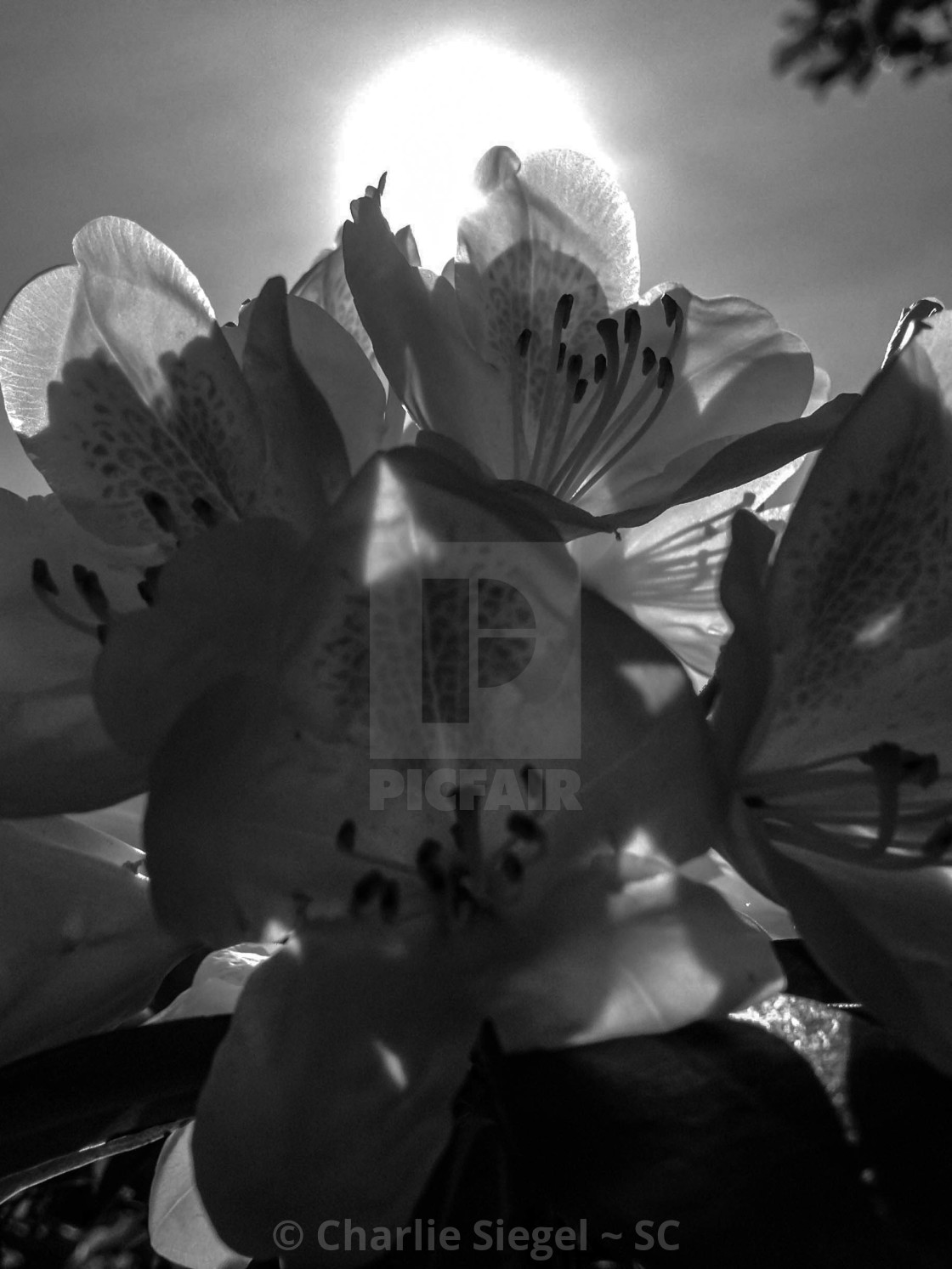 """White Rhododendron Flowers in the Sun in black and white"" stock image"