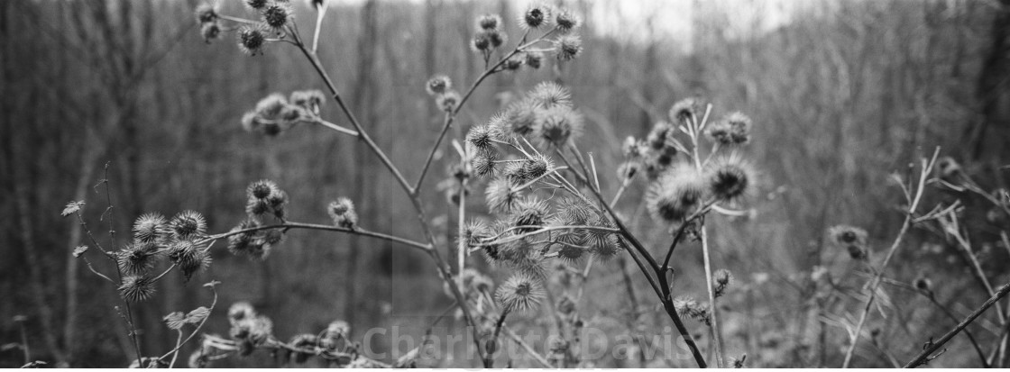 """Thistles"" stock image"