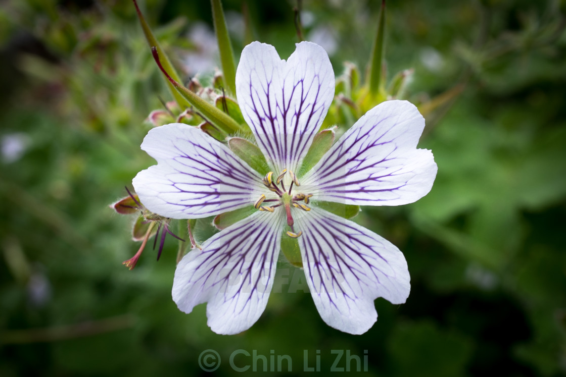 """""""White and purple flower"""" stock image"""