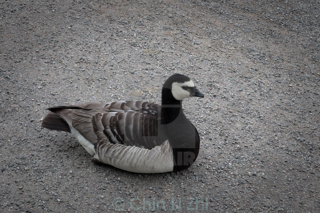 """Sitting duck"" stock image"