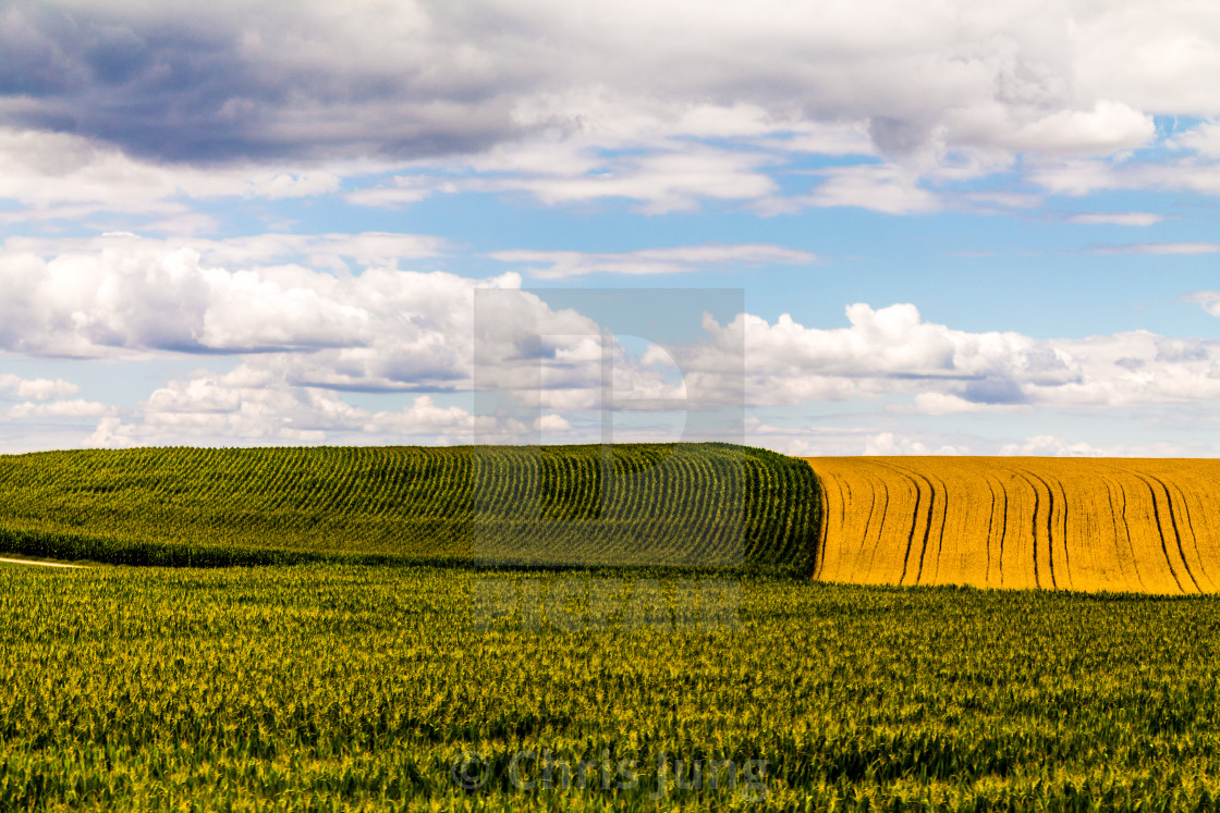 """Corn field"" stock image"