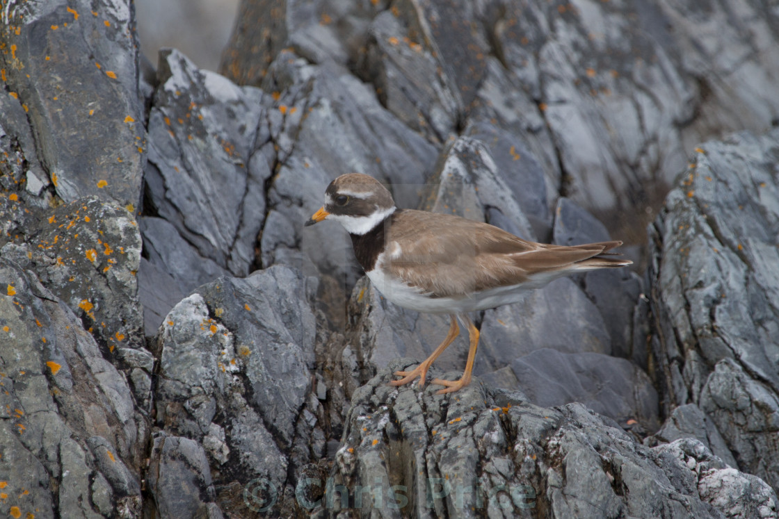 """Ringed Plover"" stock image"