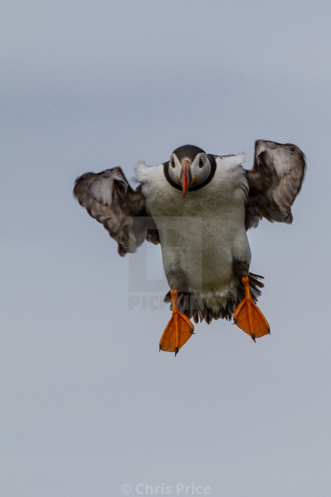 """""""Puffins, Farne Islands"""" stock image"""