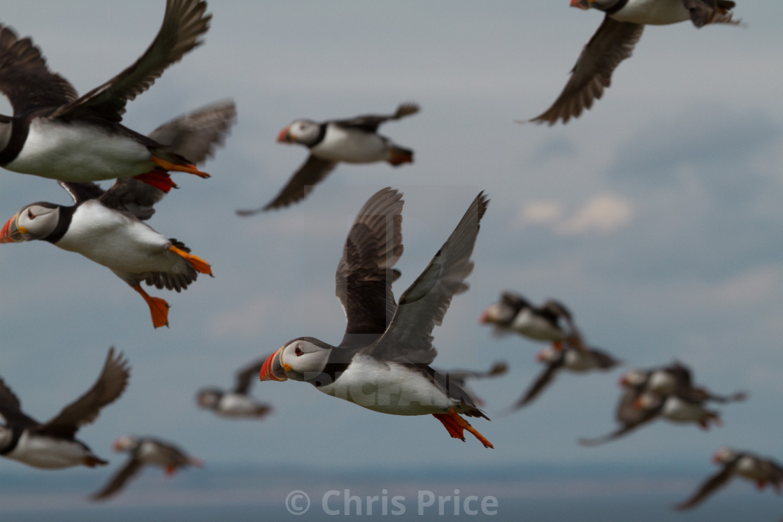 """Puffins, Farne Islands"" stock image"
