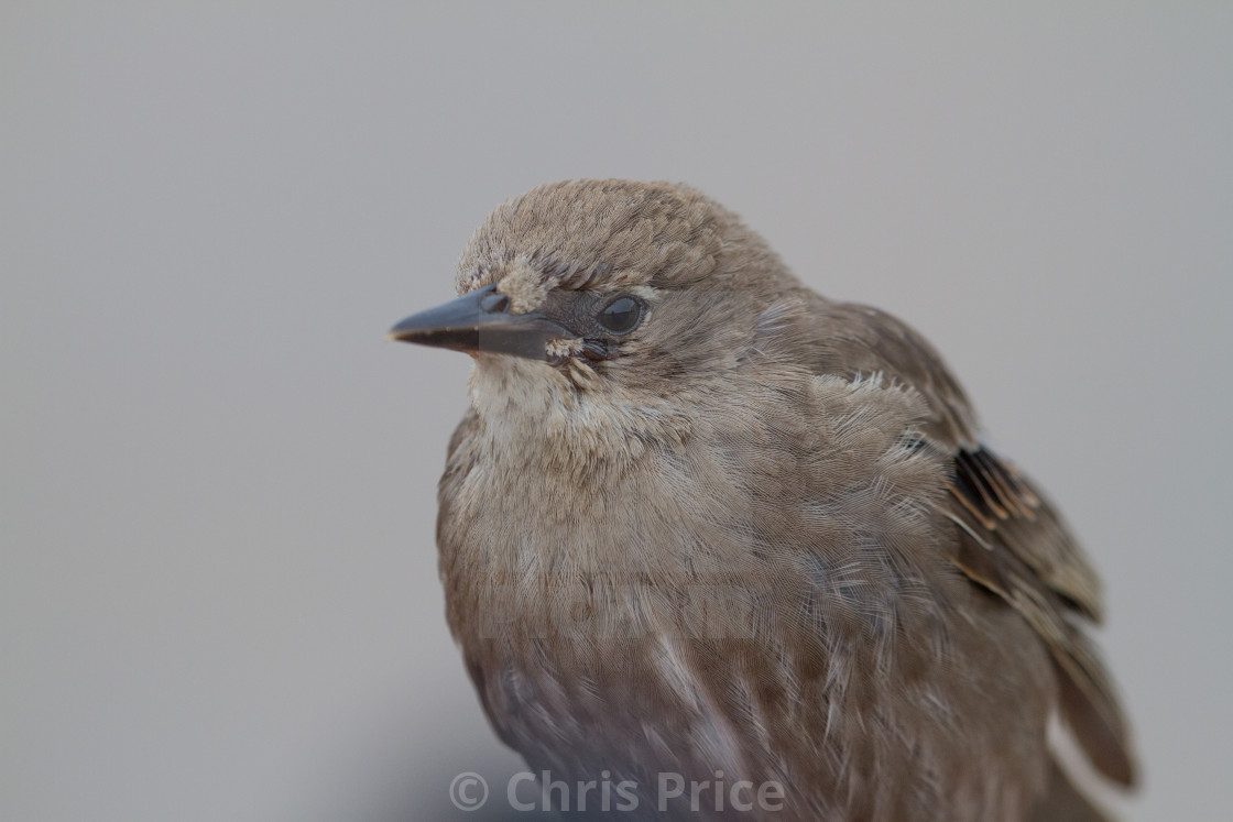 """Young Starling"" stock image"