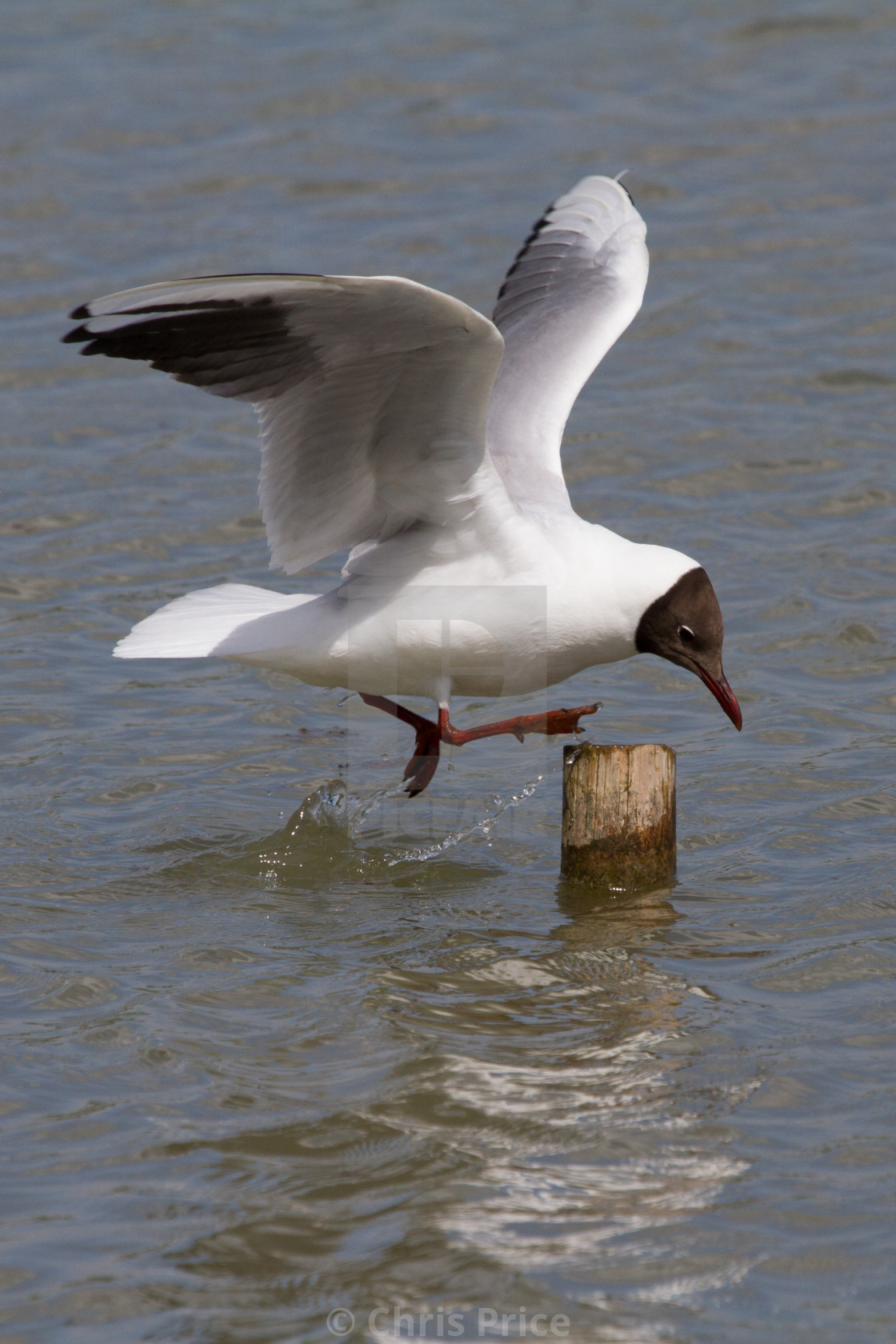 """Black-Headed Gulls at Arundel WWT"" stock image"