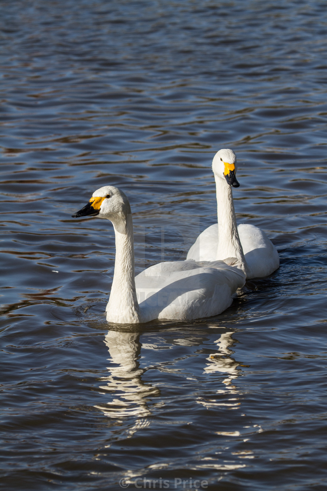 """Whooper Swans at WWT Slimbridge"" stock image"