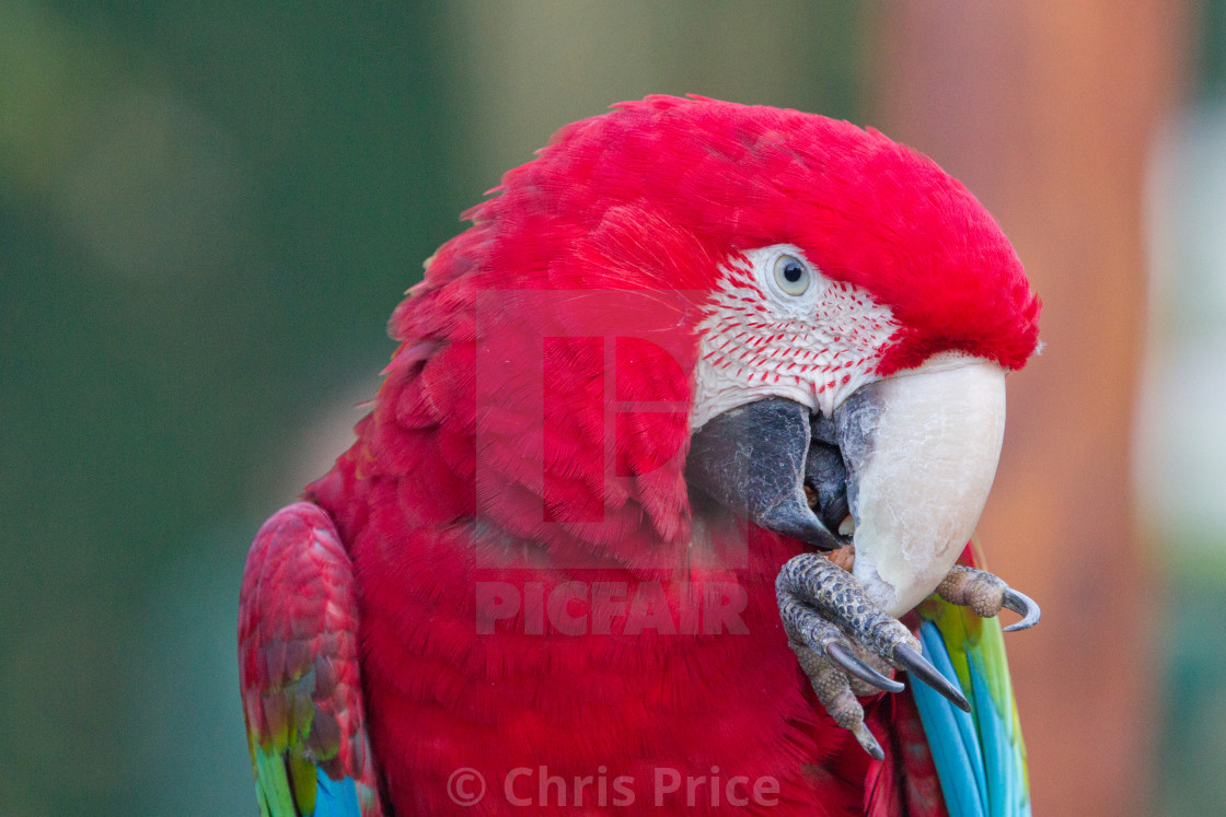 """Green WInged Macaw"" stock image"