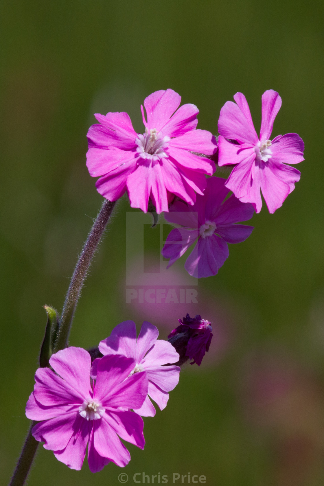 """Red Campion"" stock image"