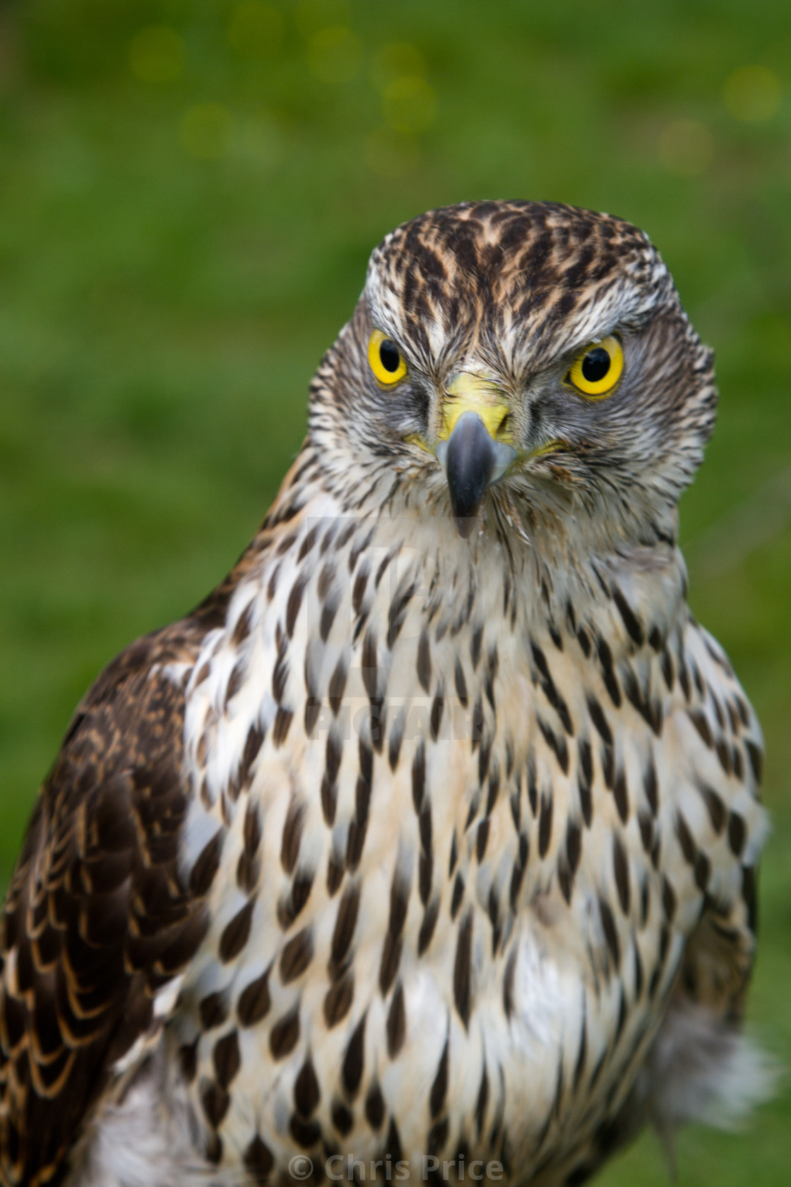"""Sparrowhawk"" stock image"