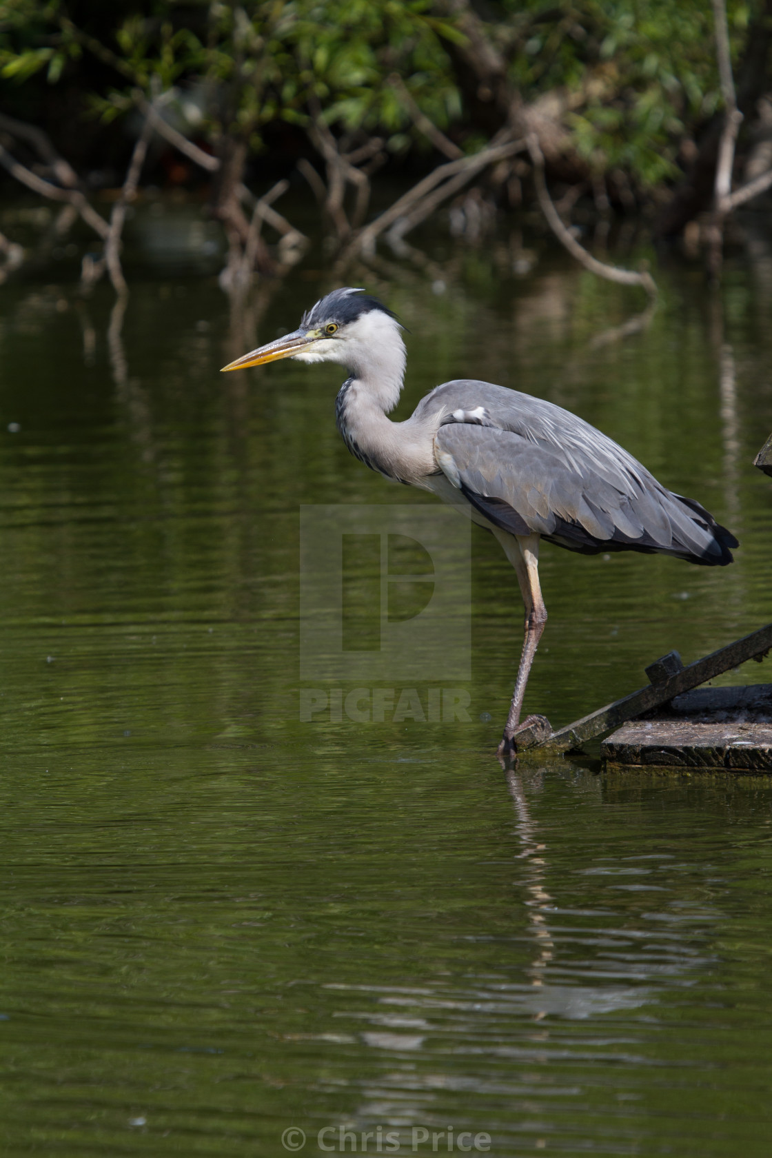 """Grey Heron on Sherfield Pond"" stock image"