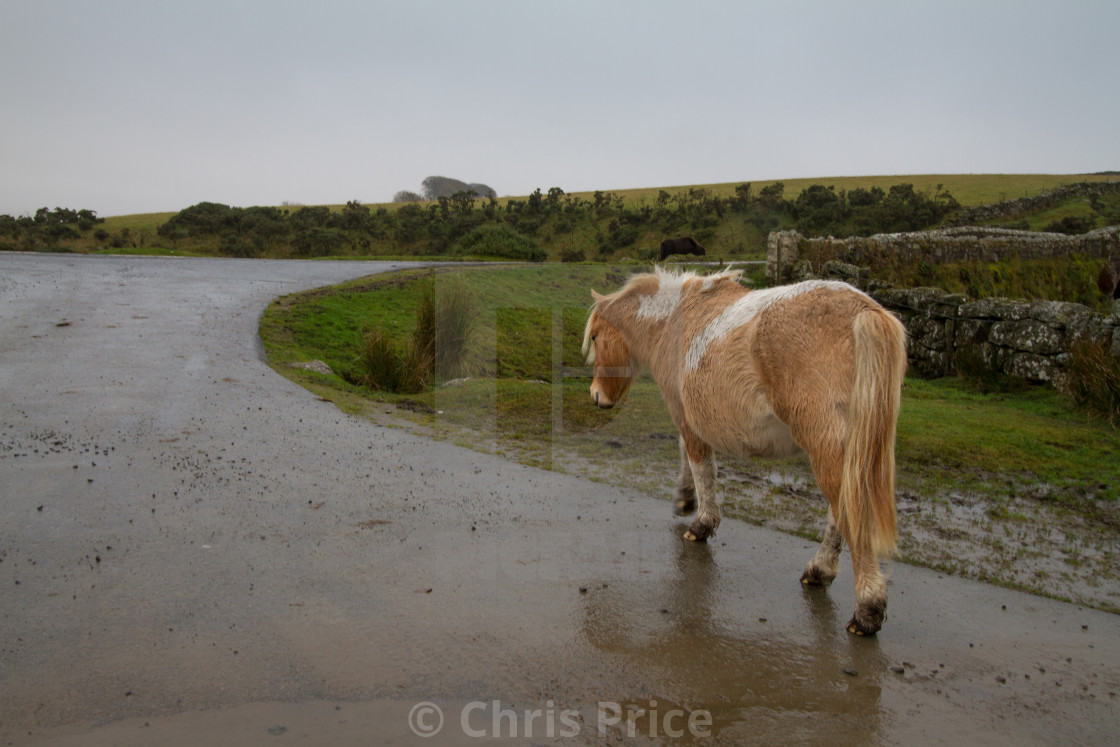 """Dartmoor Pony walking along a wet road"" stock image"