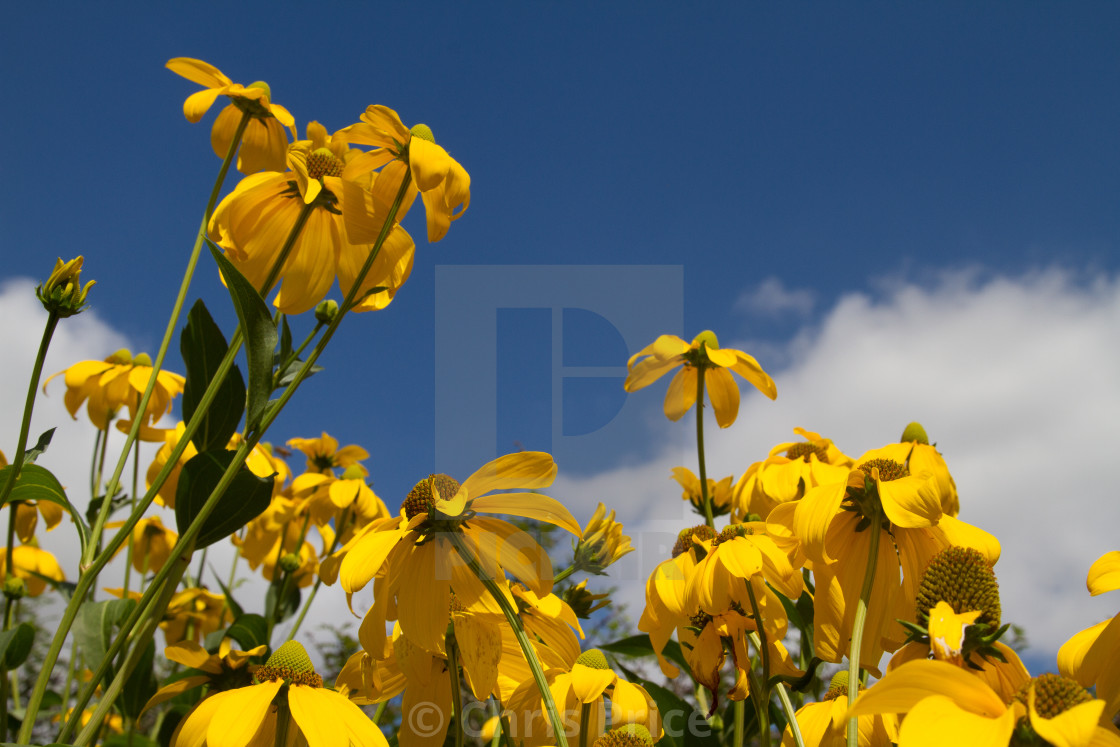 """Yellow daisies"" stock image"