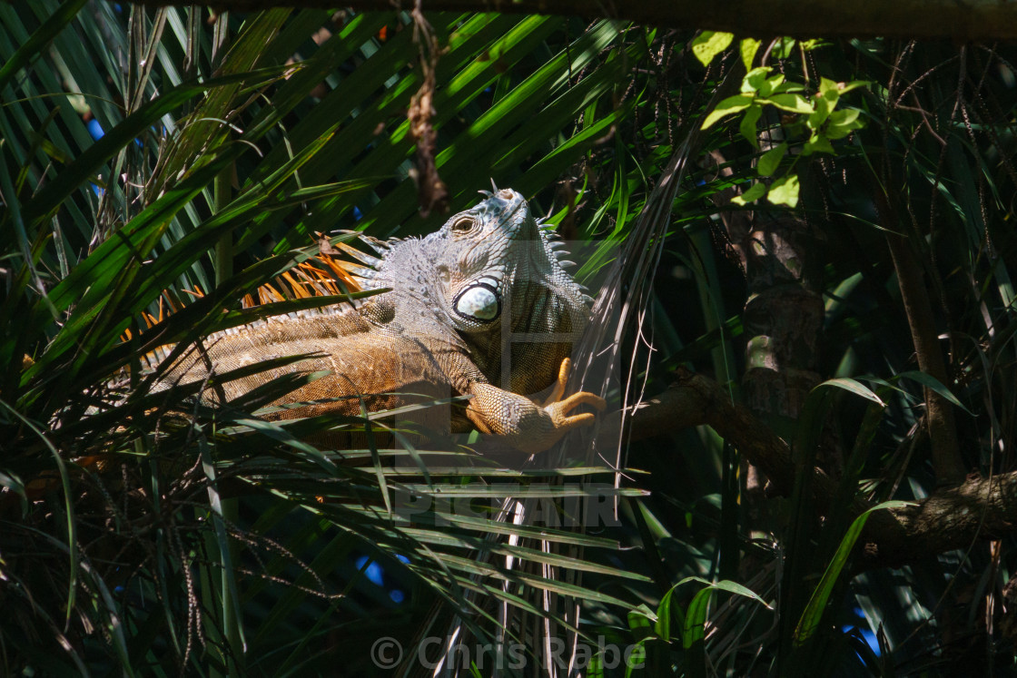 """Green Iguana (Iguana iguana) in Mexico"" stock image"