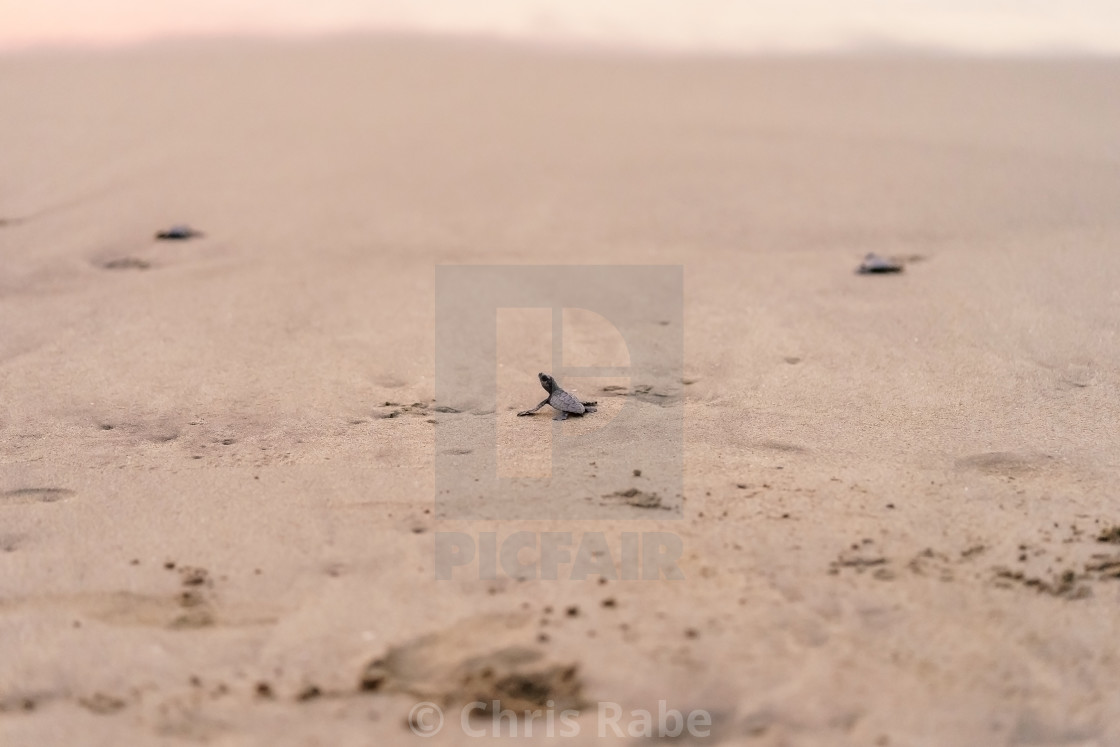"""Olive Ridley Sea Turtle (Lepidochelys olivacea) in Mexico, being released as..."" stock image"
