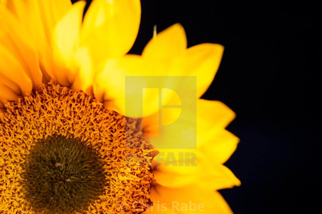 """Sunflower (Helianthus annuus)"" stock image"