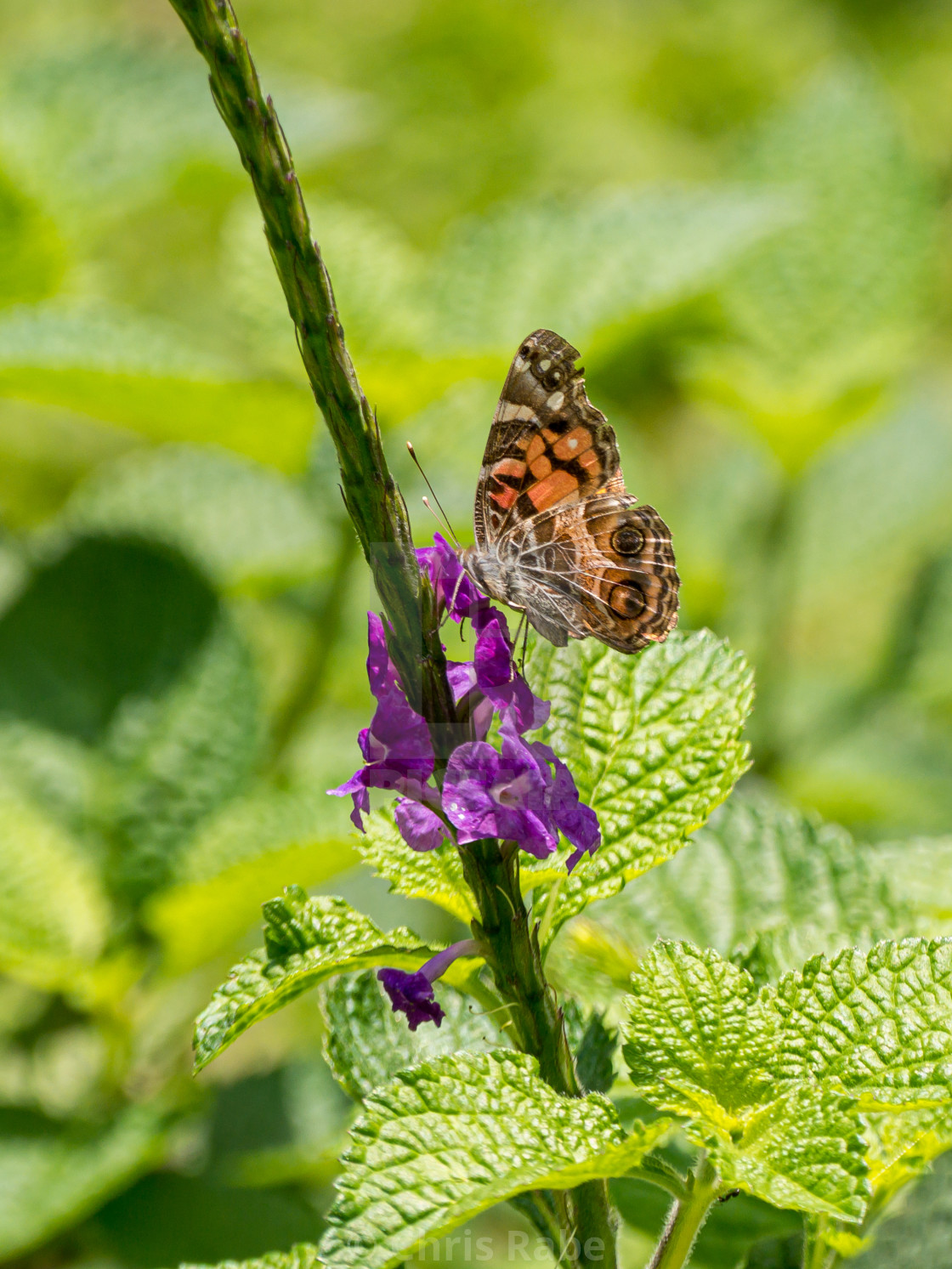 """Painted Lady (Vanessa cardui), Costa Rica"" stock image"